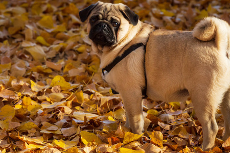 Pug in autumn leaves. Фото со стока