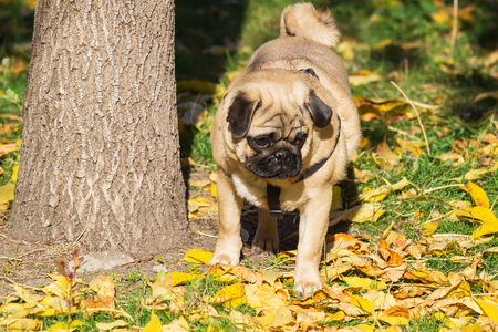 Beige pug dog on the leaves in autumn