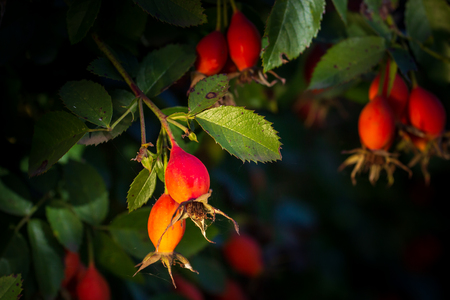 Close-up of dog-rose berries. Dog rose fruits (Rosa canina). Wild rosehips in nature. Фото со стока