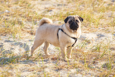 Portrait of a pug dog sitting with his back looking out into the distance at the beach.