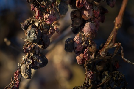 After harvesting in October, some grapes remain on the vine and dried out. Фото со стока