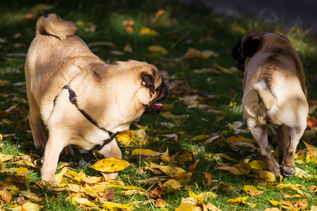 Two cute Pugs playing together in garden.