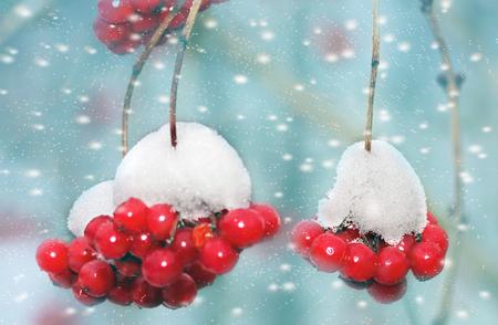 Red frozen rowan berries on snow. Winter background