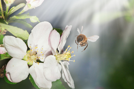The bee sits on a flower of a bush blossoming apple-tree and pollinates him. Spring background with space for text Фото со стока