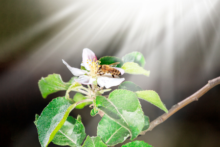 The bee sits on a flower of a bush blossoming apple-tree and pollinates him. Spring background with space for text Banco de Imagens