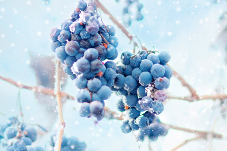 Grapes on the frozen vine Stock Photo