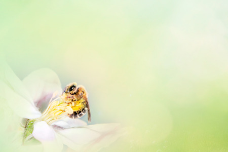 Bee with tree flower on abstract spring background. Space for text presentation.