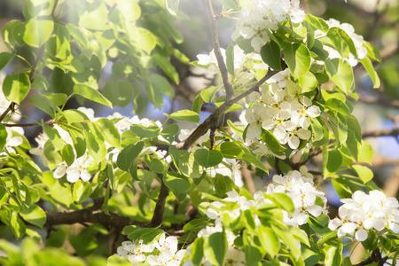 White bradford callery pear tree blossoms Standard-Bild