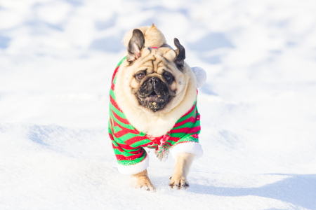 adult pug running in the snow wearing red and green costume elf