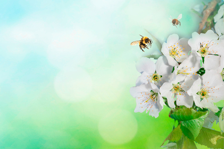 Branches of blossoming apple macro with bee and soft focus on gentle light blue sky background in sunlight with copy space. Beautiful floral image of spring nature