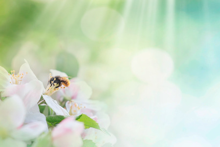 flying honey bee on bloom tree on spring or summer background