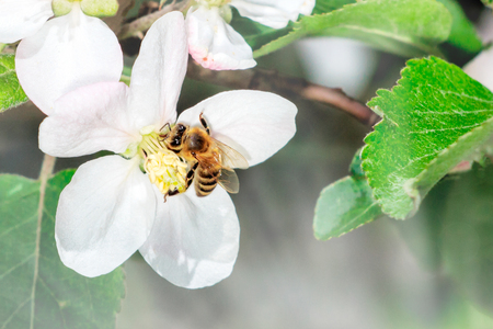 Apple Flower with bee collecting nectar to produce medicinal Manuka Honey. Stock Photo