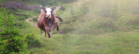 happy cow running and jumping out of summer stable into meadow.