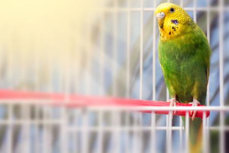 Grüner Wellensittich Papagei nah oben sitzt auf Käfig in der Nähe des Spiegels. Netter grüner Wellensittich.