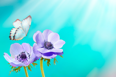 Beautiful white flower anemones fresh spring morning on nature and fluttering butterfly on soft blue background, macro. Spring template, elegant amazing artistic image, free space