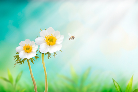 Beautiful white japanese anemone flower on spring green field and flying bumblebee in nature macro on soft blurry light background. Concept spring summer, elegant gentle artistic image,