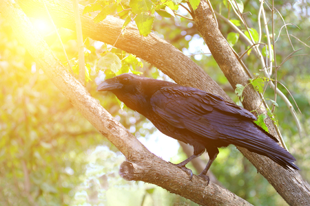 Common raven Corvus corax sitting on a tree in sunny day