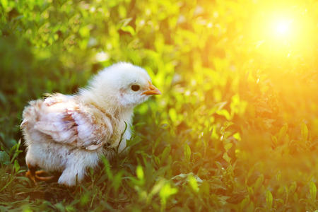 Yellow newborn chick on green grass Stock Photo