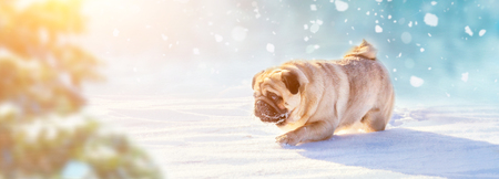 Active pug dog running in deep snow. Winter walks with pets concept image.