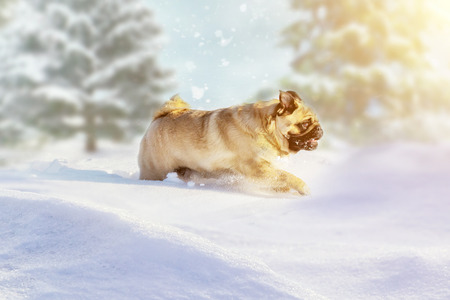 pug dog runs and plays in the winter forest on a Sunny frosty day