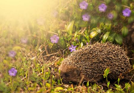 Hedgehog with apple on the backs in green meadow Фото со стока