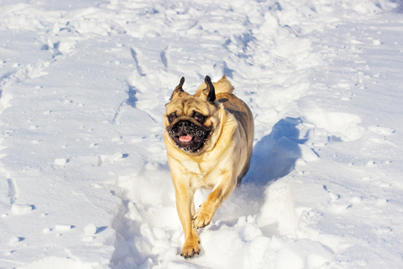 small pug dog runs over a meadow in the snow in winter. Puppy outdoor Фото со стока