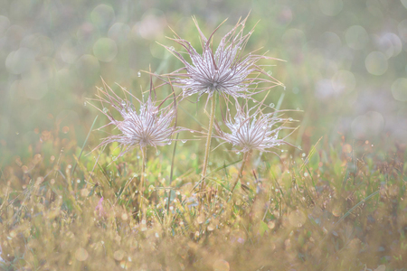 Dandelion Seeds in the drops of dew on a beautiful blurred background. Dandelions on a beautiful blue background.