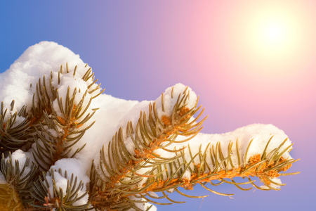 Frosty winter landscape in snowy forest. Pine branches covered with snow in cold winter weather.