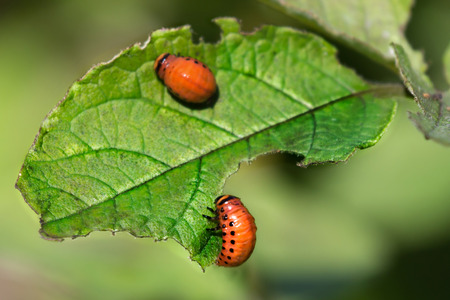 Red larva of the Colorado potato beetle eats leaves.