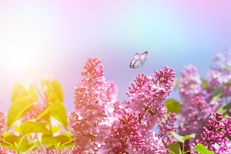 Flowering lilac bushes macro in summer spring on background blue pink sky with sunshine and a flying butterfly, nature view. Фото со стока