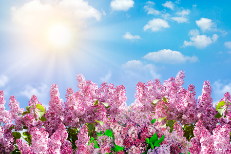 Spring branch of blossoming lilac Фото со стока