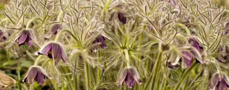 Pasque-flowers Pulsatilla in the grass, small DOF