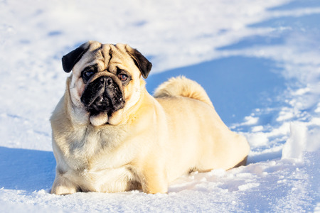 A beautiful pug dg playing outside in cold winter snow.