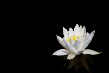 lotus flower isolated on black background Фото со стока