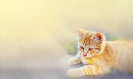 Cat in the Green Grass in Summer. Beautiful Red Cat with Yellow Eyes in Summer Sun Rays Outdoor Фото со стока