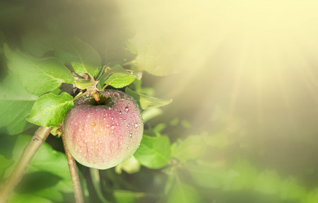 crop of red ripe apples on an apple-tree in garden. harvesting fruits apples in orchard,