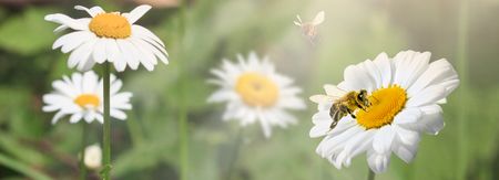 A lot of chamomile in summer meadow in nature in sunshine at sunset and a flying bumblebee. Beautiful summer landscape with field of daisies in sunset. . Panoramic wiev Фото со стока