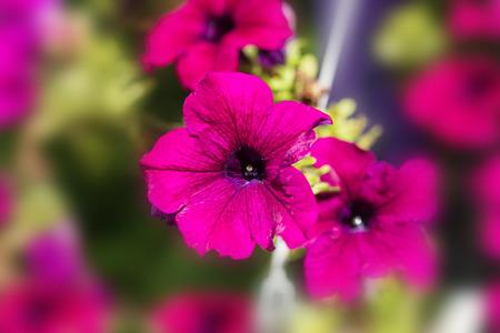 Petunia,Petunia in the garden,Petunia in a pot,Petunia and blurred background,Close Up of Petunia flower. Фото со стока