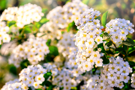 A lot of tender little white flowers, pattern of many flowers, white flowers background