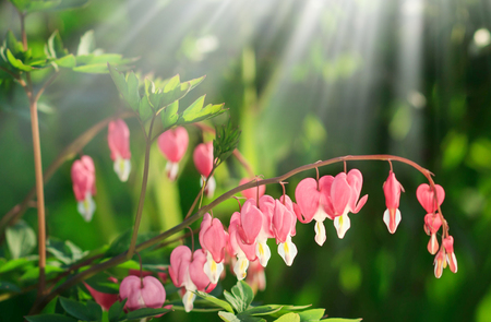 Dicentra - Bleeding Heart Flowers in sunny day. Spsce for text. Love Valentine day concept.