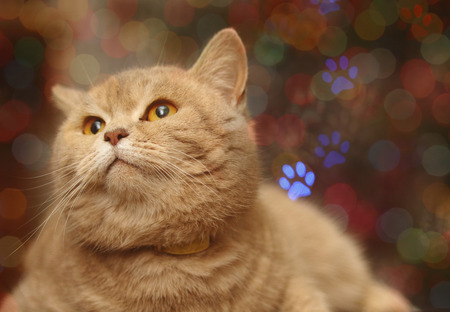 A close up of a big, round and fluffy purebred British Shorthair looking calm while looking away.