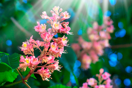 Red horse-chestnut, pink flowers on sunny day.