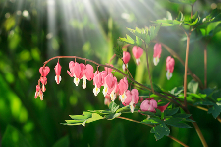 Dicentra - Bleeding Heart Flowers in sunny day. Spsce for text. Love Valentine day concept. Spring nature Background