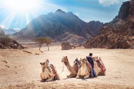 camels are in the Sinai Desert, Sharm el Sheikh, Sinai Peninsula, Egypt. beautiful sun day above mountains. Фото со стока