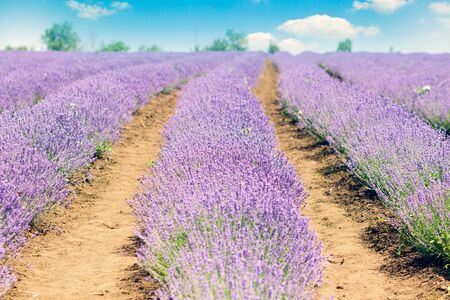 Lavender fields in Provence-Alpes-Cote dAzur and french rural landscape with an blue sky on horizon. Stock Photo