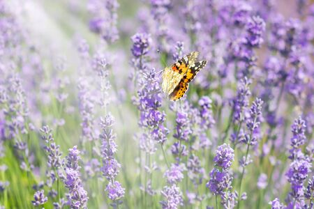 Lavender bushes with butterfly