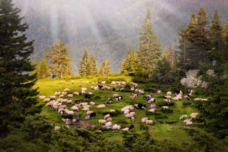 Mountain range at sunset. A herd of sheep in the mountains. Beautiful mountain landscape view.