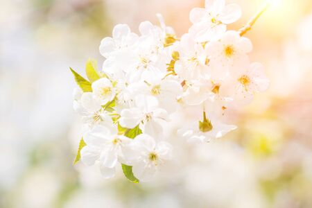 Floral spring background, soft focus. Branches of blossoming bird-cherry Prunus padus in spring outdoors macro in vintage light blue pastel colors.