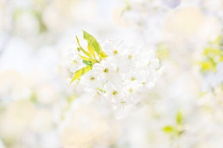 Floral spring background, soft focus. Branches of blossoming bird-cherry in spring outdoors macro in vintage light blue pastel colors. Delicate elegant airy artistic image of spring. Stock Photo