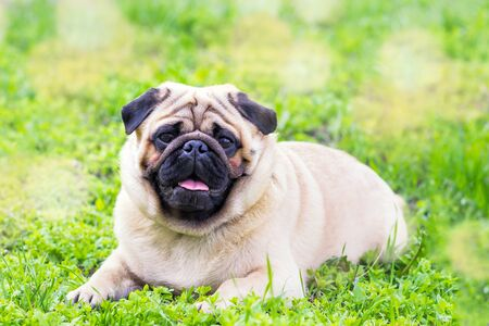 Close-up of Pug on the green grass in the garden, spring time